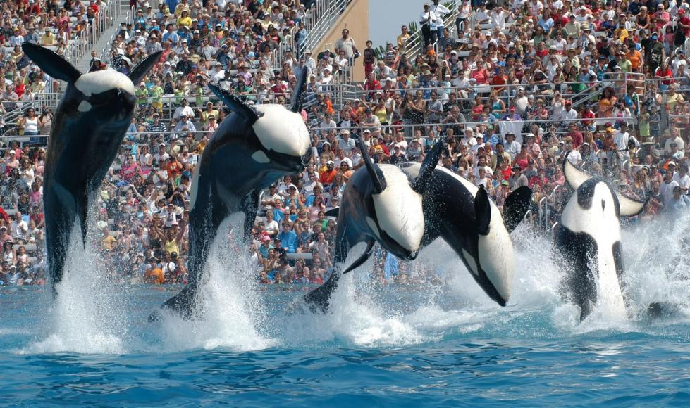 Five killer whales jump backwards during a show at SeaWorld
